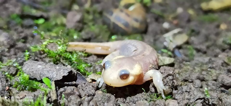 salamandra común albina