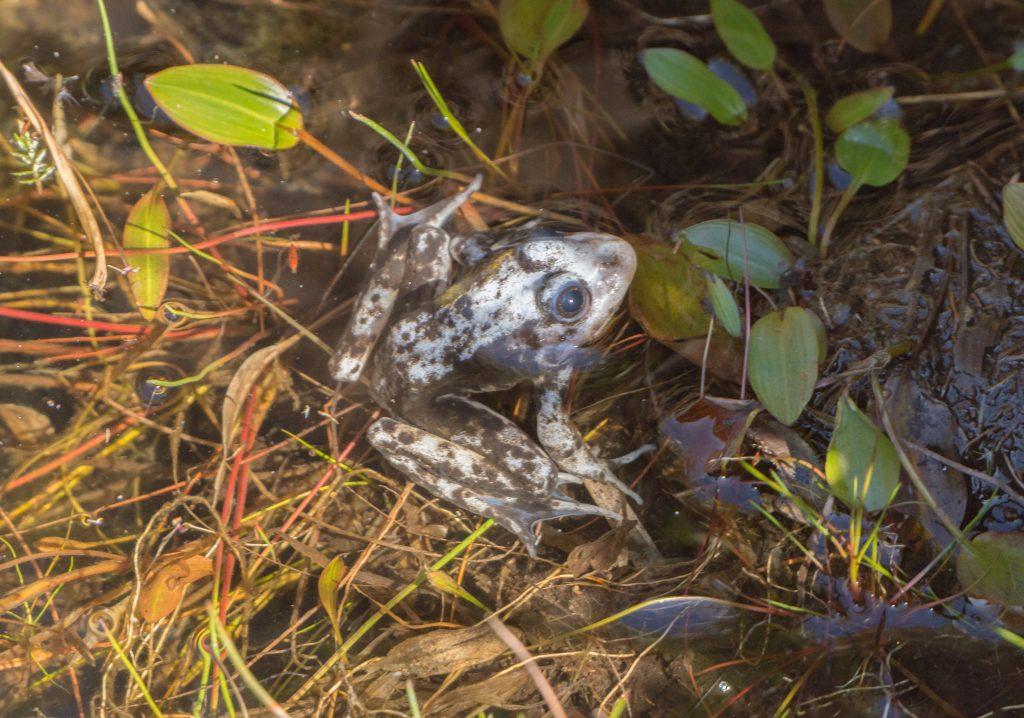 Rana común (Pelophylax perezi). Créditos: Vítor Xosé Cabaleiro Barroso
