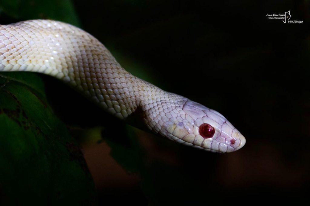 culebra de escalera albina