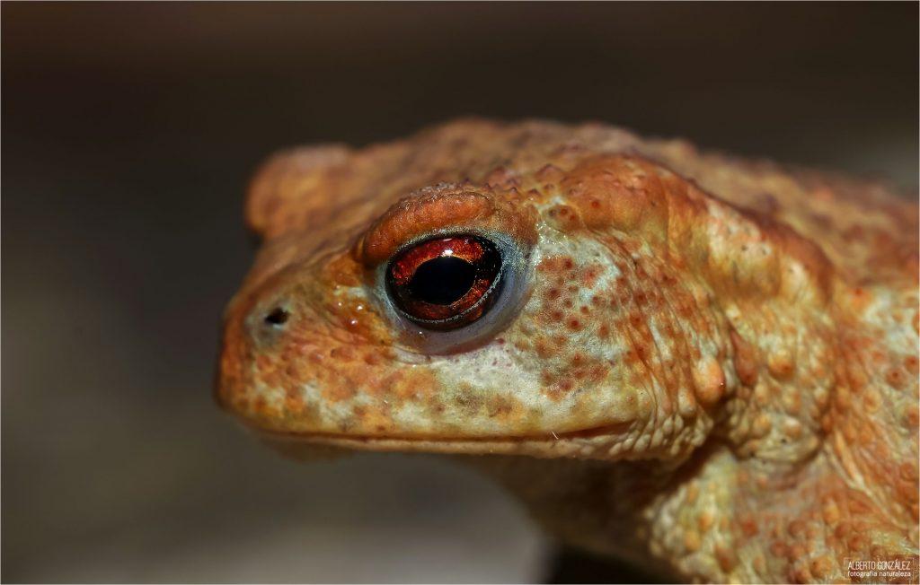 sapo común (Bufo spinosus)