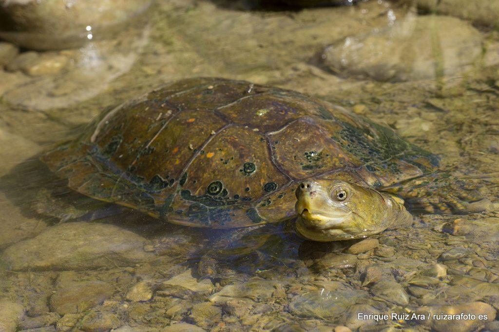Galápago leproso (Mauremys leprosa)