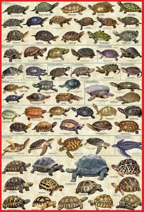 que es una tortuga tipos de tortugas