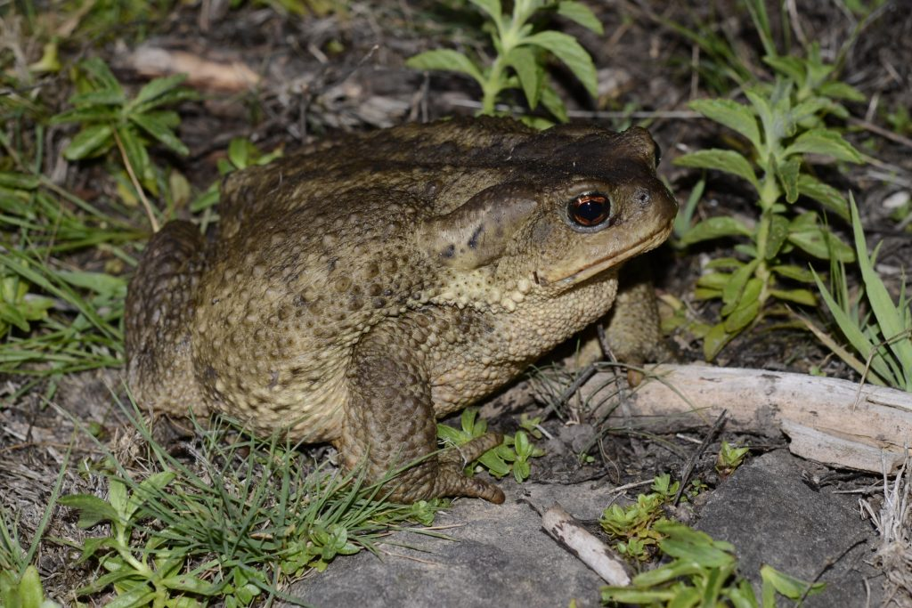 Bufo spinosus. Moulay Abdeslam.
